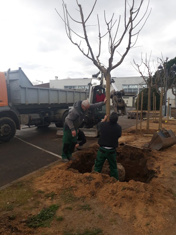 arbre muriers (4)