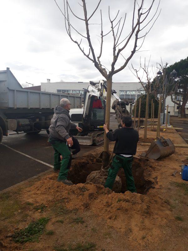 arbre muriers (5)